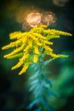 goldenrod стоковые изображения