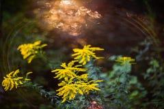 goldenrod стоковое изображение rf