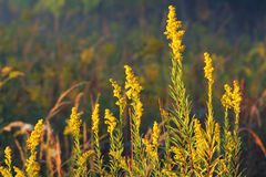 Goldenrod, autumn Royalty Free Stock Image