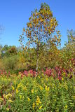 Goldenrod and autumn tree. Bright autumn colors shine through the goldenrod and yellow leaves Royalty Free Stock Photography