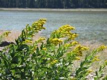 Goldenrod bloemen Royalty-vrije Stock Afbeelding