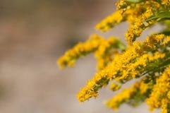 Goldenrod blomma fotografering för bildbyråer