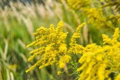 Goldenrod blooming in summer on the meadow. Goldenrod blooming in summer on the meadow stock photography