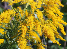 Goldenrod Royalty Free Stock Image