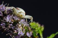 Goldenrod Crab Spider Stock Photos