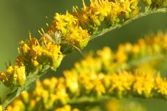 Goldenrod Crab Spider Royalty Free Stock Photography