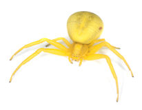 Goldenrod crab spider. Isolated on white background Stock Photography