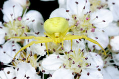 Goldenrod crab spider Royalty Free Stock Images
