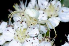 Goldenrod crab spider. Misumena vatia ready hug Stock Image