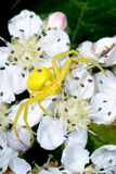 Goldenrod crab spider Royalty Free Stock Image