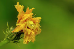 Goldenrod crab spider. In a yellow flower royalty free stock images