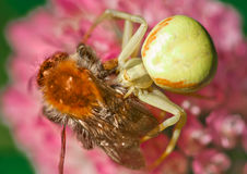 Goldenrod crab spider Stock Photo