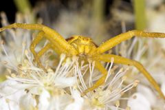 Goldenrod crab spider in agressive position Stock Photos