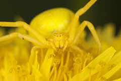Goldenrod crab spider on dandelion Stock Image
