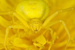 Goldenrod crab spider on dandelion Stock Photo