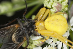 Goldenrod crab spider feasting on fly Royalty Free Stock Images