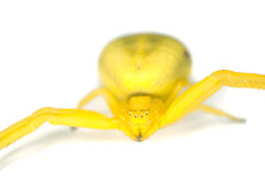 Goldenrod crab spider isolated. Royalty Free Stock Photography