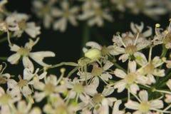 Goldenrod crab spider (Misumena vatia) 1. Goldenrod  crab spider (Misumena vatia)  in habitat Royalty Free Stock Images