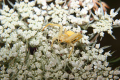Goldenrod crab spider (Misumena vatia) Royalty Free Stock Photography