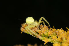 Goldenrod crab spider (Misumena vatia) Royalty Free Stock Photos