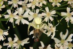 Goldenrod crab spider (Misumena vatia). Goldenrod  crab spider (Misumena vatia)  - Female on a flower with a captured fly Stock Images