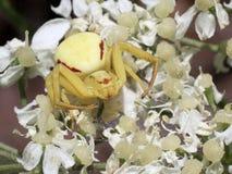 Goldenrod Crab Spider - Misumena vatia Stock Photography