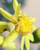 Goldenrod crab spider (Misumena vatia) on yellow flower Stock Photography