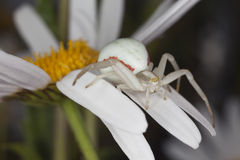 Goldenrod crab spider sitting on daisy Royalty Free Stock Photography