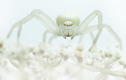 Goldenrod crab spider sitting on a white plant with white backgr Royalty Free Stock Images