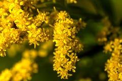 goldenrod De bloem van het gebied stock foto