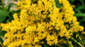 Goldenrod eller rysk gul mimosa för Solidagoblomma i trädgården i sommar arkivfoton