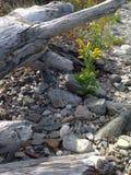 Goldenrod en drijfhout stock foto
