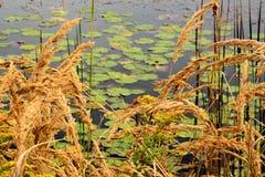 Goldenrod en lillypads Stock Foto's