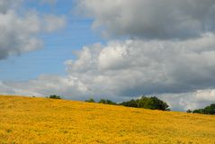 Goldenrod Field. Field of yellow, orange goldenrod against blue, cloudy sky Royalty Free Stock Photos