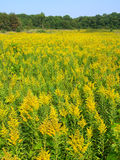 Goldenrod Field Scene Royalty Free Stock Photos