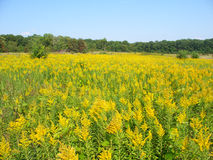 Goldenrod Field Scene Stock Images
