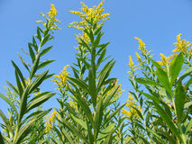 Goldenrod Field Scene Stock Photography