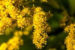 goldenrod Flor del campo Foto de archivo