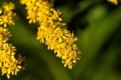 goldenrod Flor del campo Imagenes de archivo