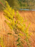 Goldenrod Flower Kettle Moraine Wisconsin Stock Image