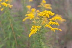 Goldenrod flowers Stock Photos