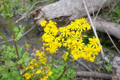 Goldenrod Flowers. In the Louisiana woods Royalty Free Stock Photo
