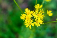 Goldenrod Flowers. In the Louisiana woods Royalty Free Stock Image