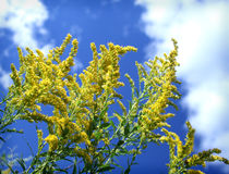 Goldenrod Flowers Sky Clouds Royalty Free Stock Photos