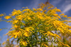 Goldenrod flowers Royalty Free Stock Image