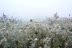 Goldenrod with Frost Stock Photography