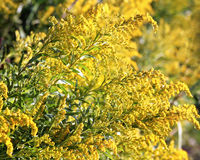 Goldenrod in full bloom - also a medicinal plant Royalty Free Stock Photography