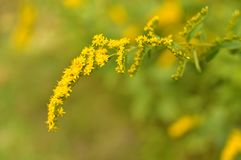 Goldenrod het Close-up van Wildflower Royalty-vrije Stock Afbeeldingen