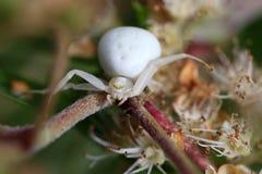 Goldenrod kraba pająk lub kwiatu kraba pająk Fotografia Royalty Free