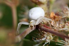 Goldenrod kraba pająk lub kwiatu kraba pająk Fotografia Stock